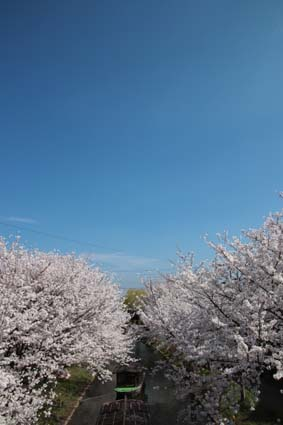十石舟と桜-3(20180327).jpg