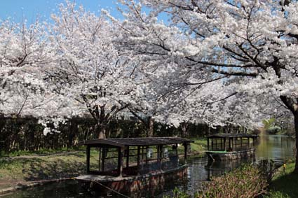 十石舟と桜-6(20180327).jpg