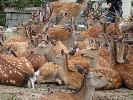 奈良の鹿-1(20190609).jpg