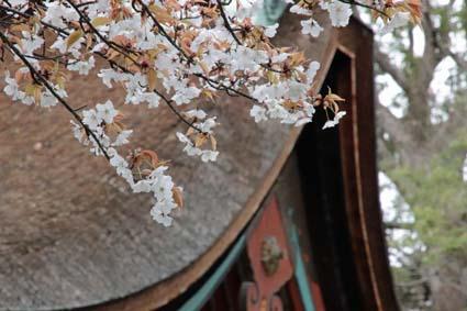 山桜-2(20190325).jpg