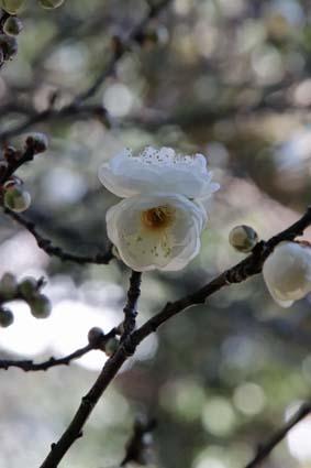 御香宮の梅の花-4(20190114).jpg