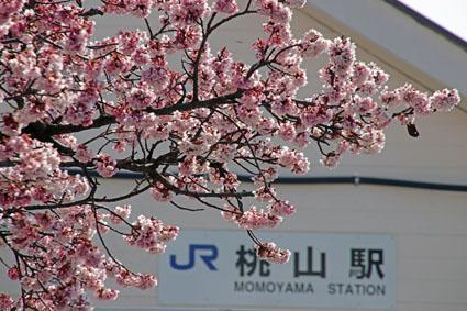 桃山駅前の桜-2(20190302).jpg