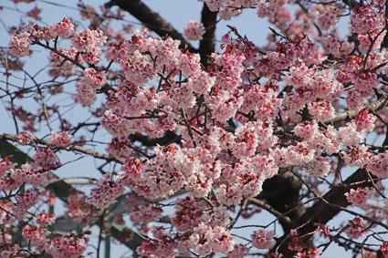 桃山駅前の桜-3(20190302).jpg