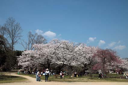 桜の木の下-1(20180328).jpg