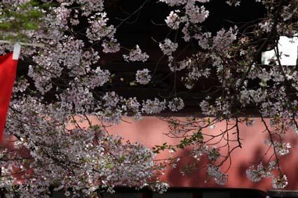 桜も終焉近し-4(20170414).jpg