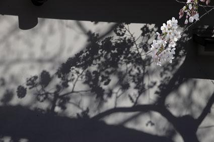 河童と桜-6(20190405).jpg