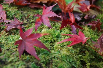 紅葉と苔-1(20181129).jpg