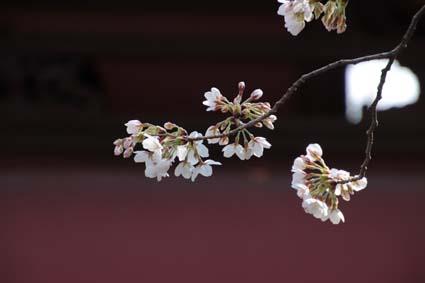 長建寺の桜-2(20180327).jpg