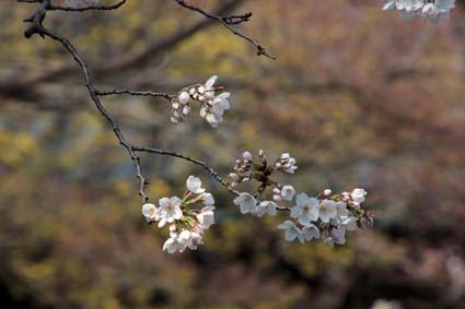長建寺の桜-3(20180327).jpg