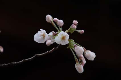 長建寺の桜-5(20180327).jpg