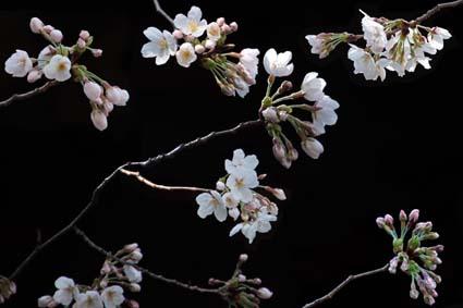 長建寺の桜-8(20180327).jpg