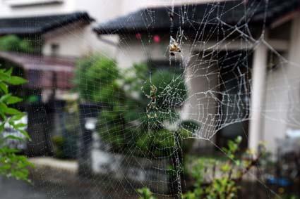 雨の日の蜘蛛-2(20171021).jpg